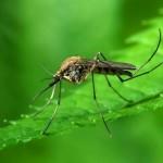 Зачем комары кусаются?