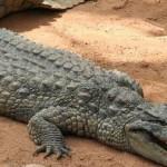 Сонник Крокодил, к чему снится Крокодил во сне видеть