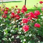Уход за розами после зимы