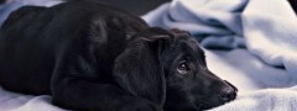 Сонник щенка