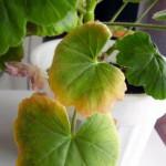 Почему у герани желтеют листья и как это предотвратить