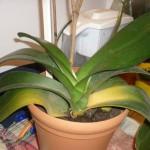 Желтеют листья у орхидеи